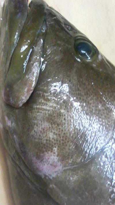 本日は 7kgのクエ 鯖 穴子 真だち 釣りきんき 虎河豚 河豚白子 真つぶ 牡蠣 ベーコン がおすすめです!